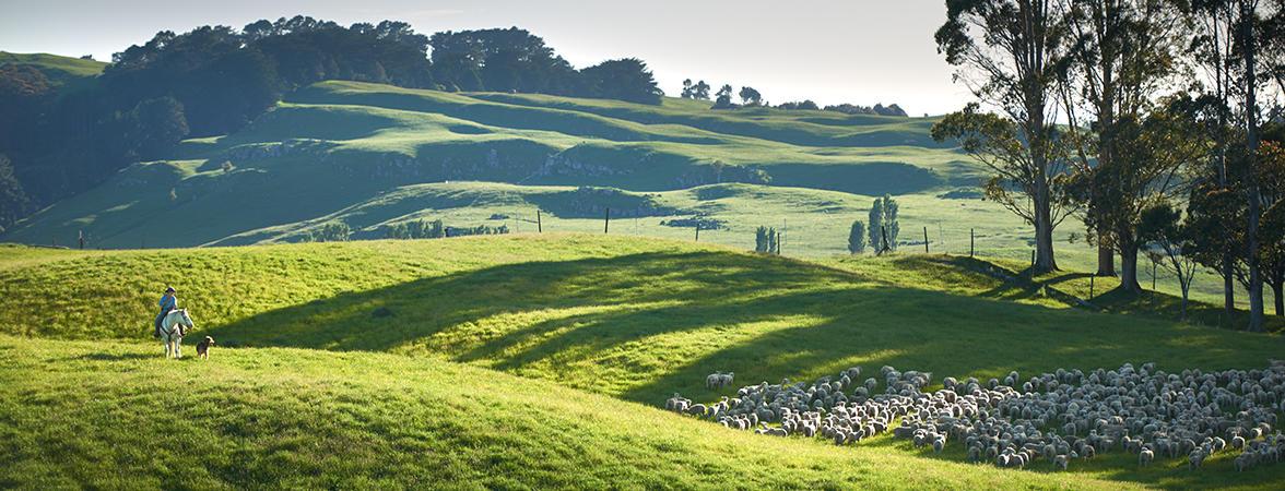 Ovation is 100% grass fed free range New Zealand lamb